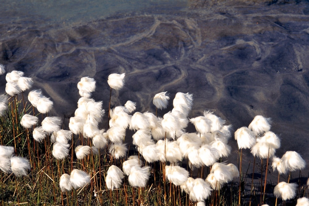 'Fluffies' (cotton grass)