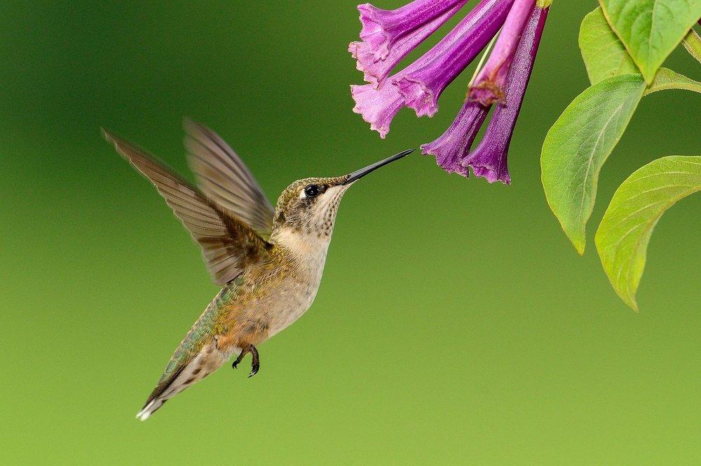 hummingbird-pink flowere.jpg