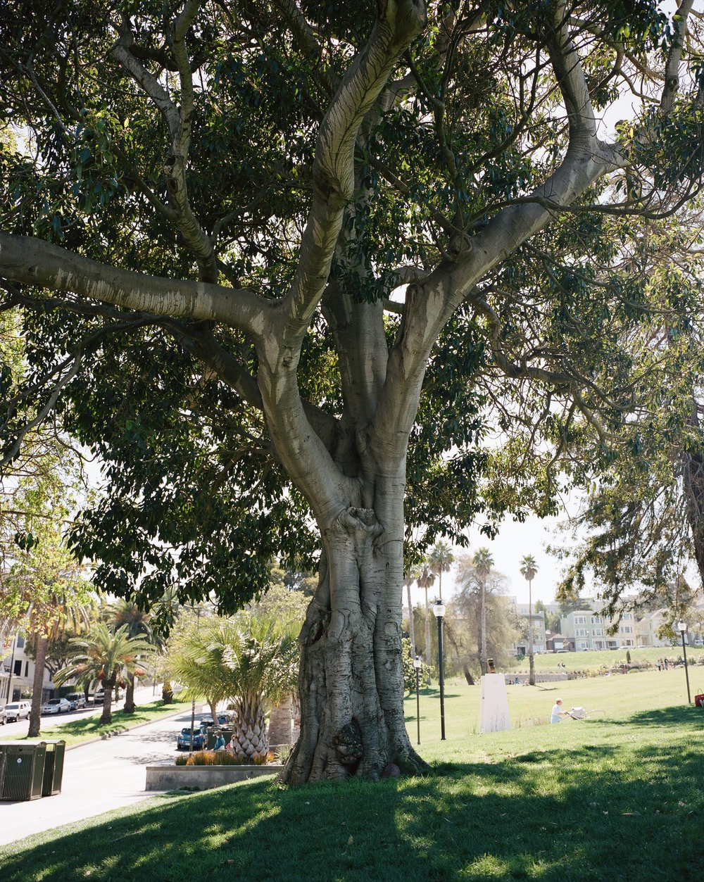 Frame 5   Mission Dolores Park Tree