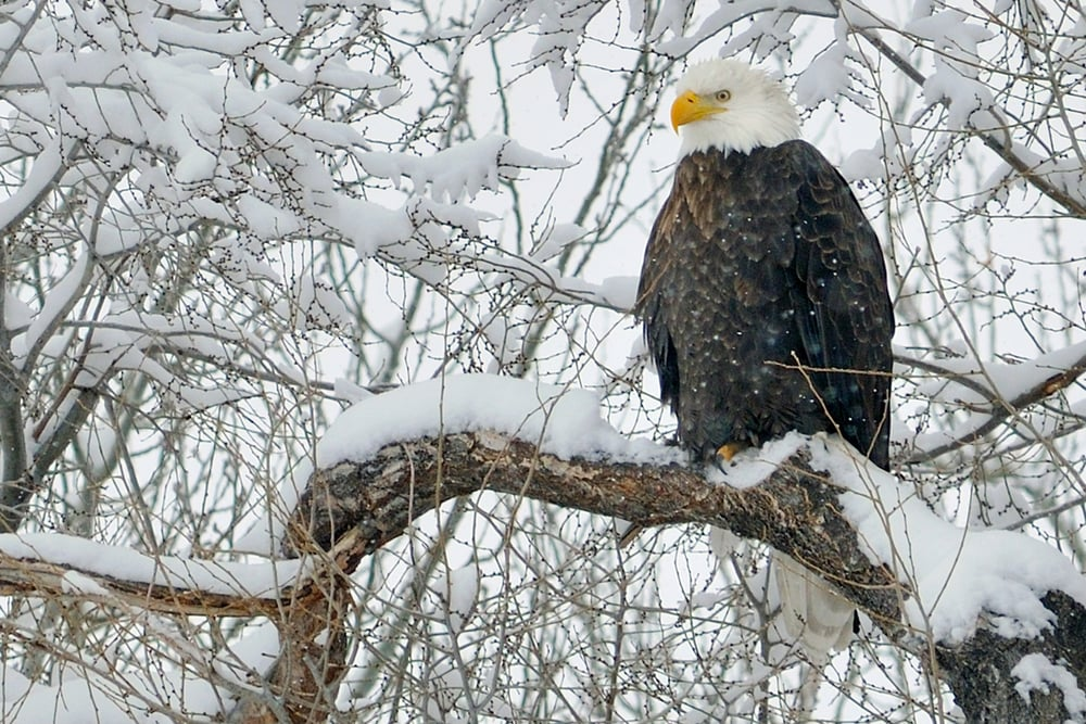 eagle on snowy branch.jpg