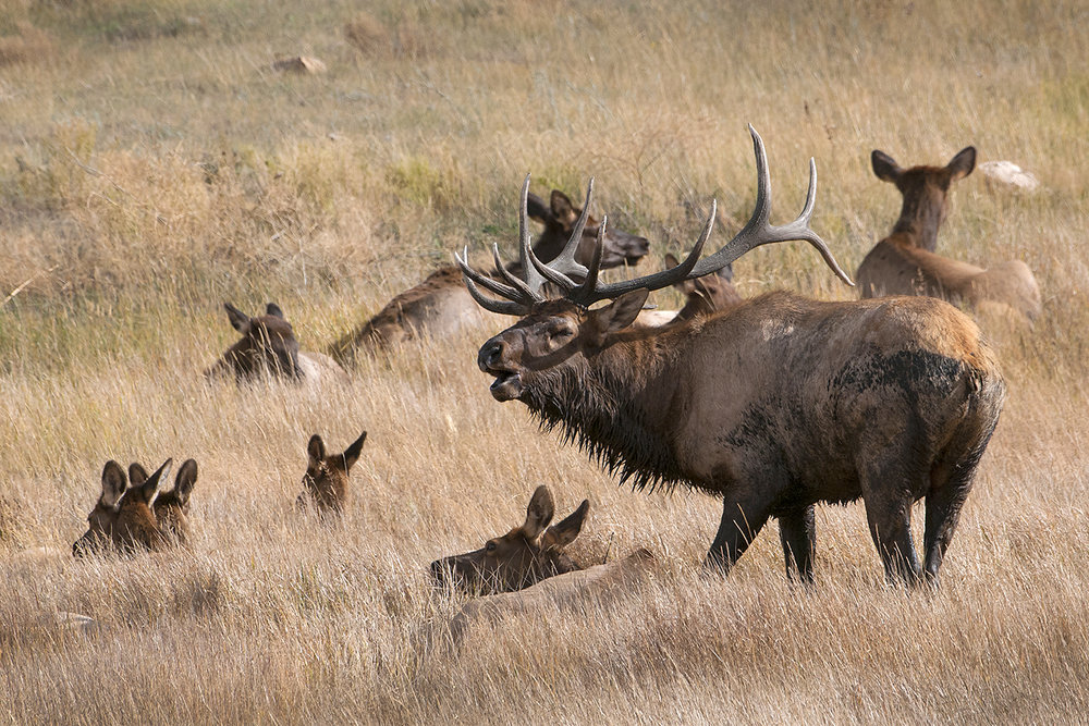bull elk and harem rmnp.jpg