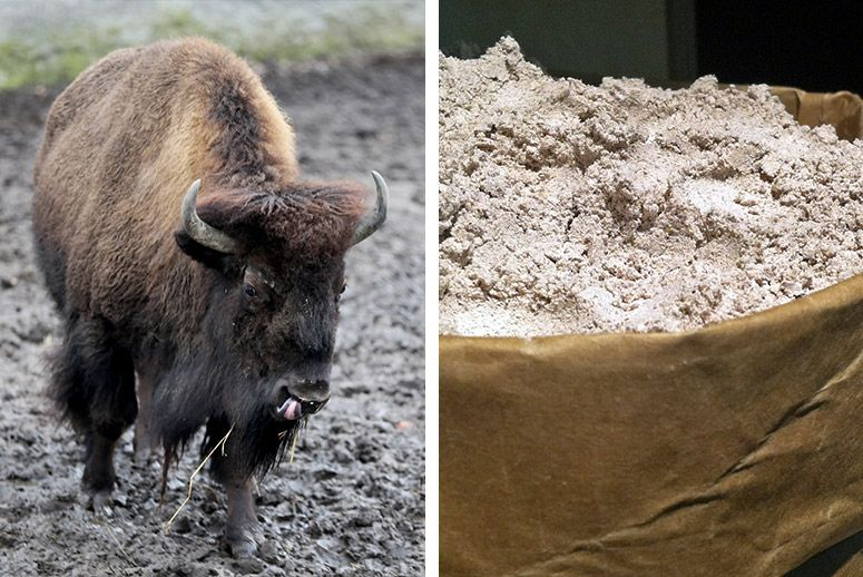 A bison (left) and blue cornmeal. (Photos: Anna Ferensowicz/Getty Images; Ellen Freytag/Flickr)