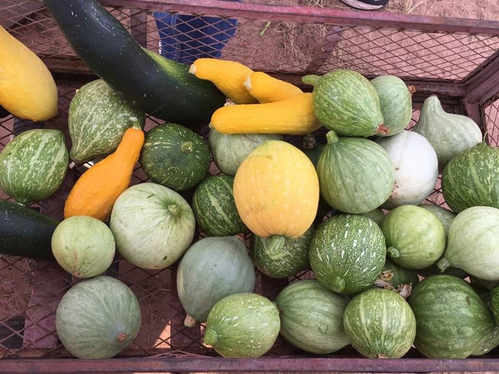 The Mikes' garden produces enough squash and zucchini to last them through the winter and sell the excess to members of their community. Photo by Geri Mike
