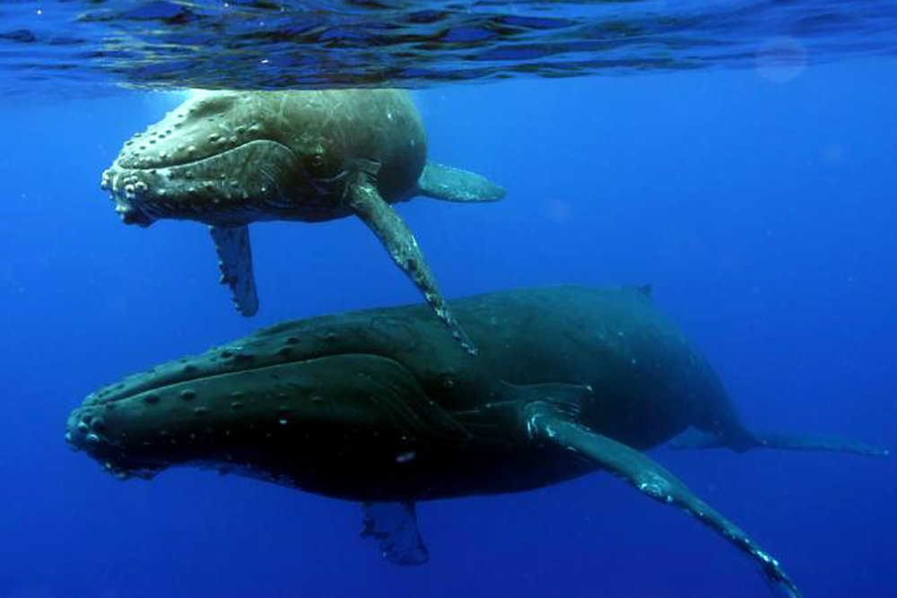 Two humpback whales.  Photo courtesy: NOAA lutheran indian ministries native news