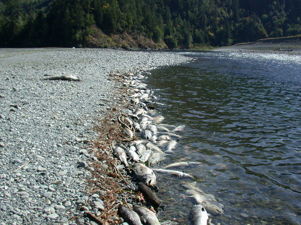 Dead Chinook salmon on the banks of the Klamath River during a 2002 fish kill. An estimated 34,000 salmon perished.CreditYurok Tribe Fisheries Department