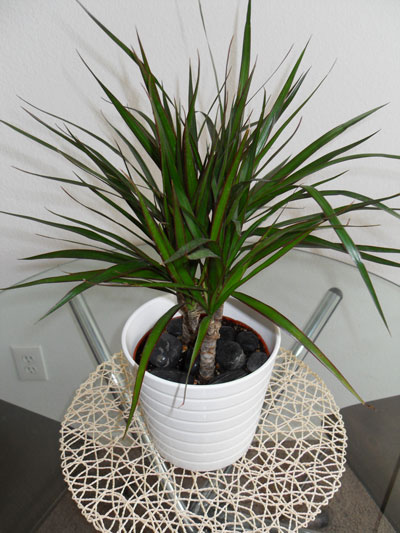 Air Purifying Houseplants: Dracaena Marginata by Cascadian Farm/CC BY