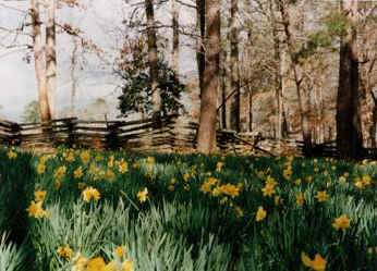 daffodilsfence2.jpg