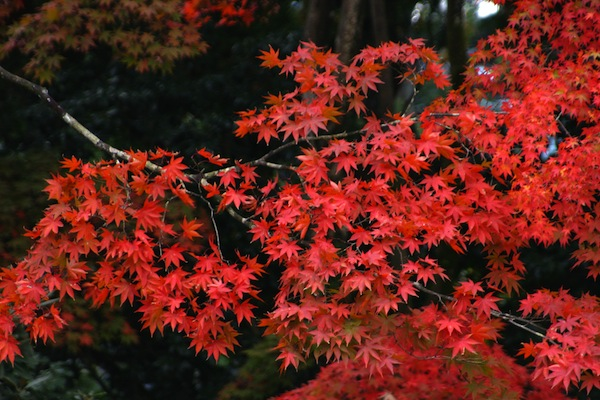 Japanese Maples Fantastic Color Spring Through Fall Living