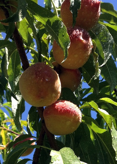HALLECK_Peaches_ontree1.jpg