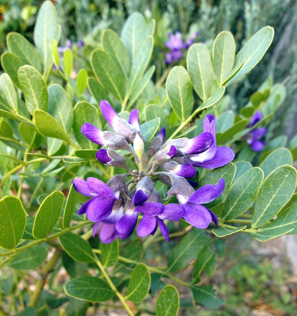 Halleck_Texas_Mountain_Laurel.jpg