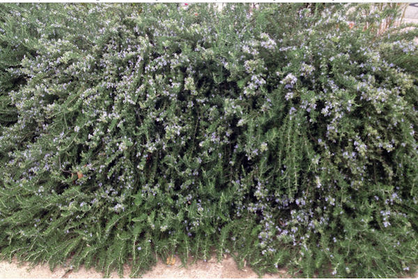 halleck_rosemary_trailing_inbloom.png