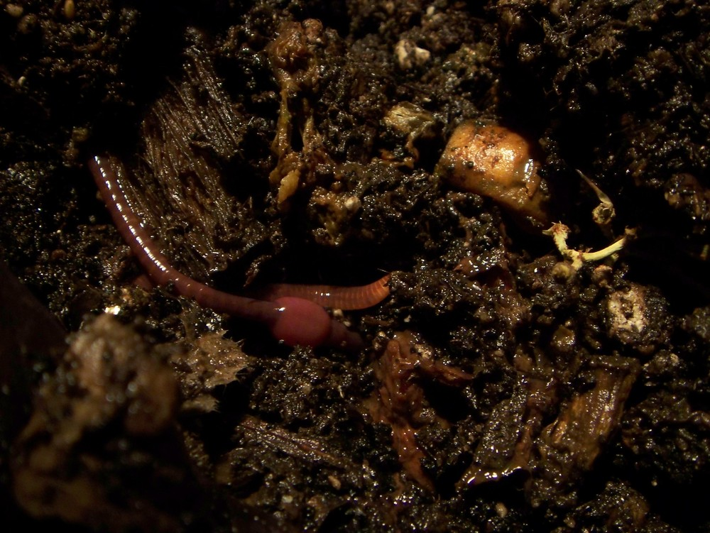 Pregnant Compost Bin Worm by kafka4prez /CC BY