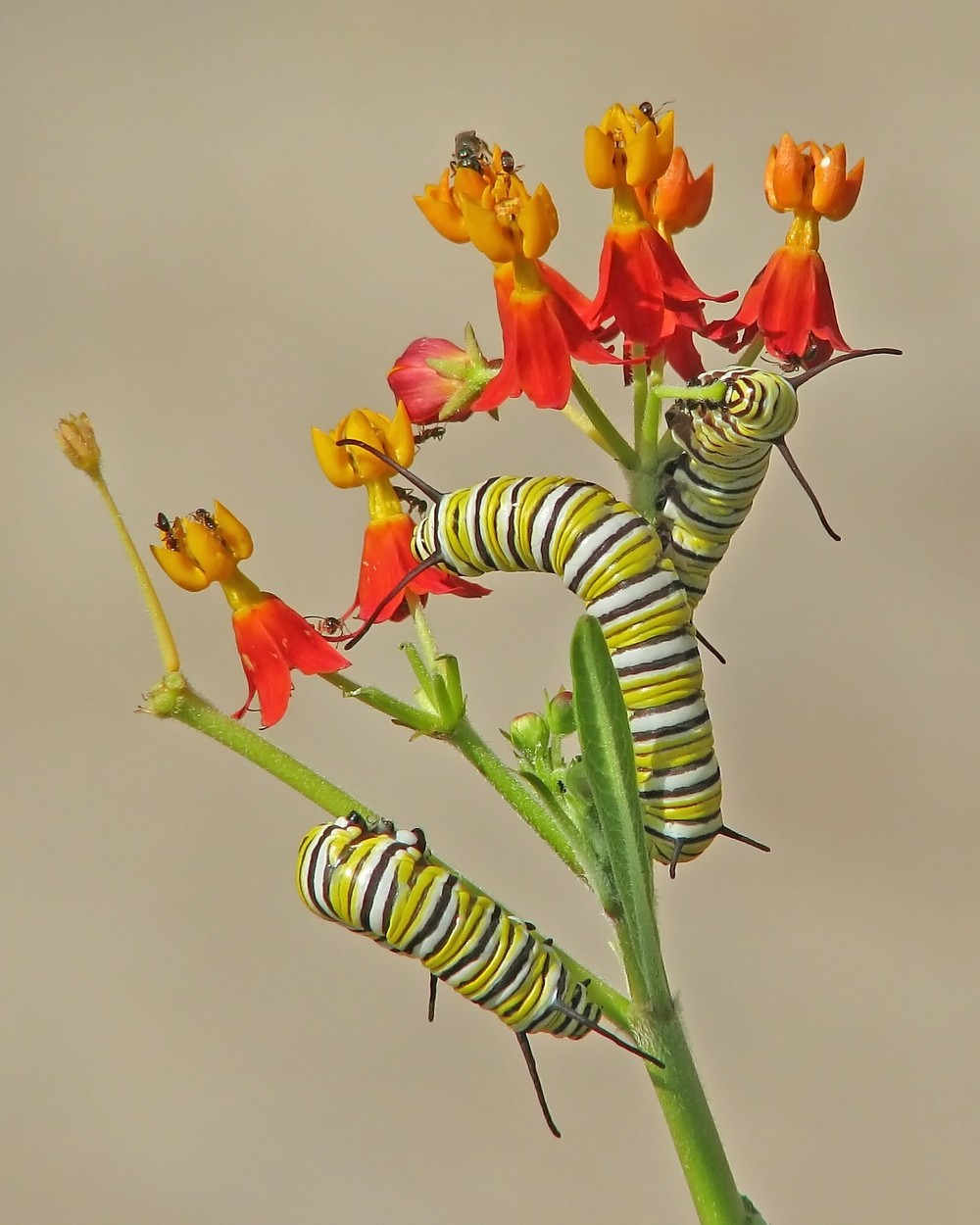 Monarch caterpillars in scarlet milkweed by Vicki DeLoach/CC BY