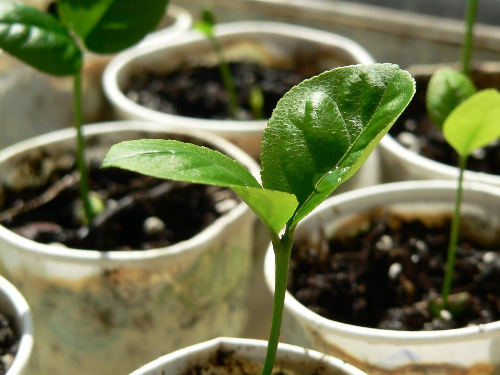 Lemon Seedlings by Harlin Harris/CC BY