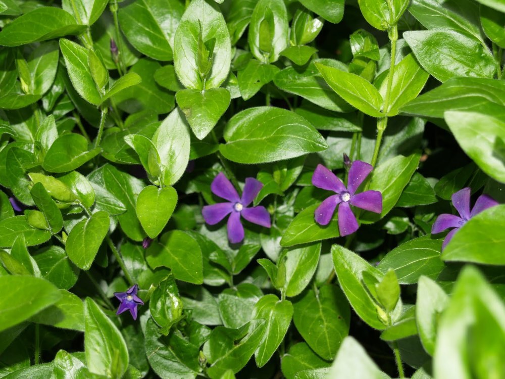 VINCA - A sprawling vine-type ivy with purple flowers blooming spring through fall.  It grows well in  partial sun to full shade  and is reasonably drought-tolerant once established.