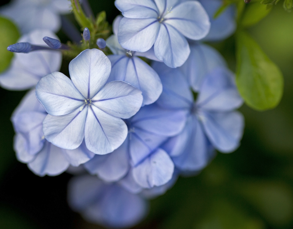 blue 'plumbago' by Usually Melancholy/CC BY