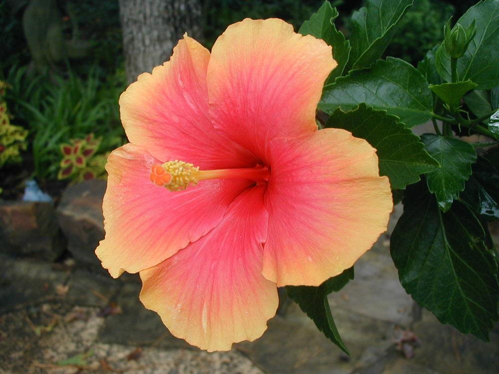 """""""Mrs. Jimmy Spangler"""" bloom"""