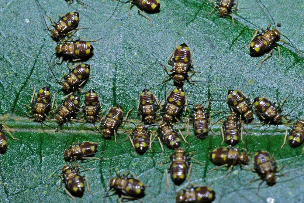Bark Lice nymphs by Bernard DUPONT/CC BY
