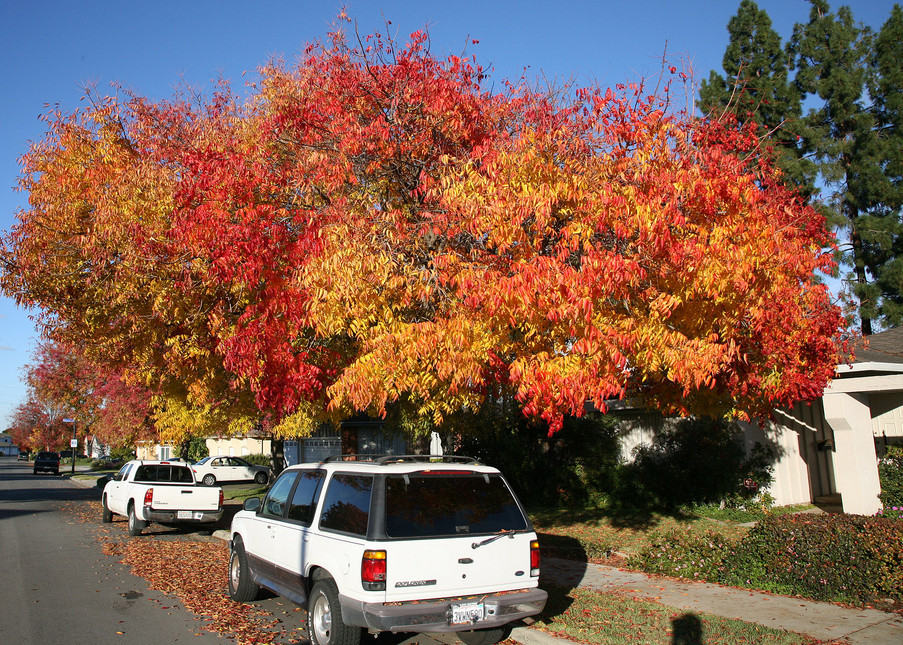 Fall Colors by Jitze Couperus/CC BY (Lacebark Elm)