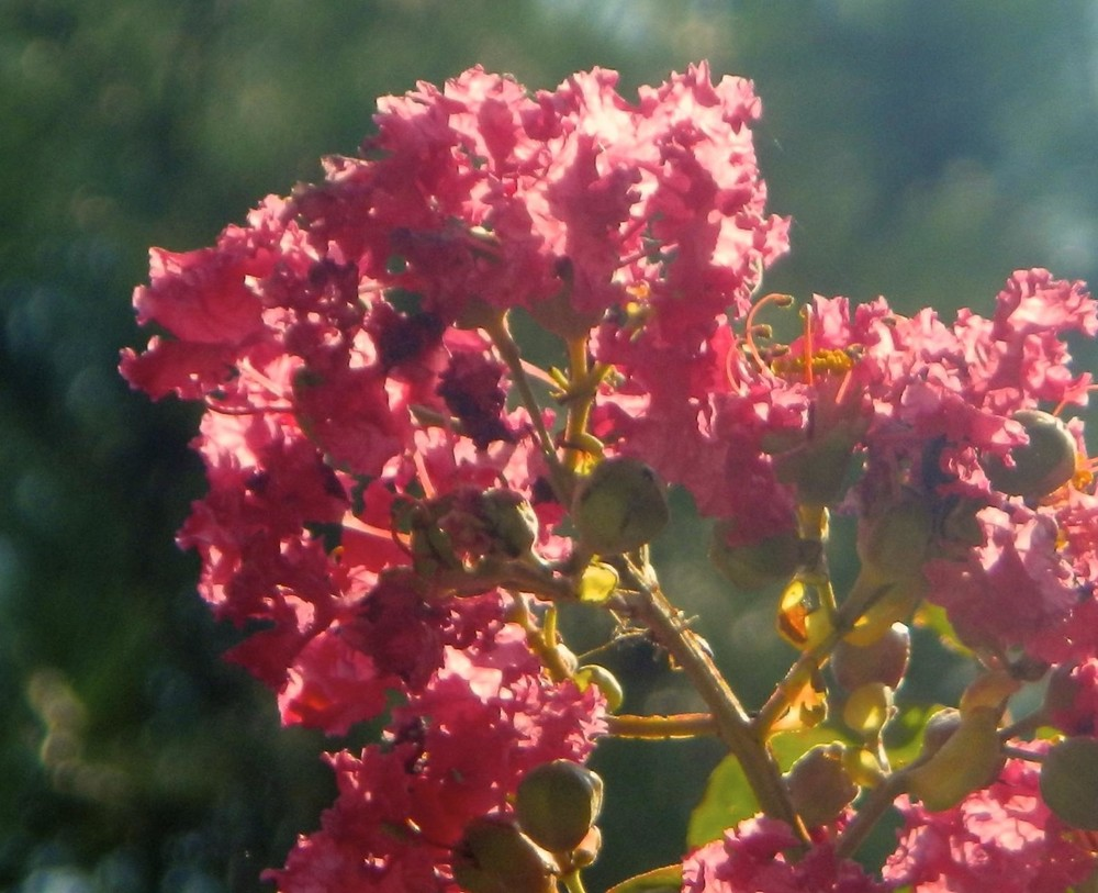 crape-myrtle-bloomm-e1437568591323.jpg
