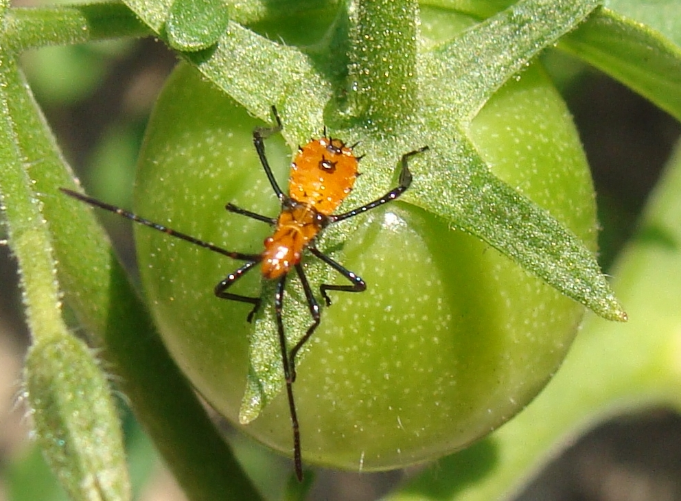 "Immature stages of the Assassin Bug do not have fully-developed wings ""Tiny assassin bug"" on green tomato by Martin LaBar/CC BY"