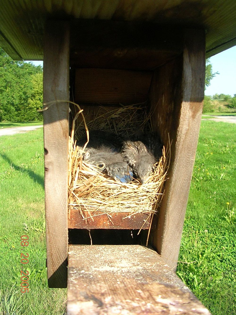 Bluebirds in Nestbox by  Dawn V Storm
