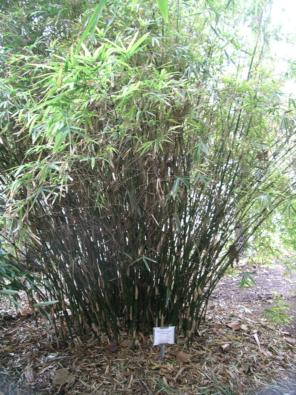 "Fernleaf Clumping Bamboo via CC License by ""reader of the pack"""