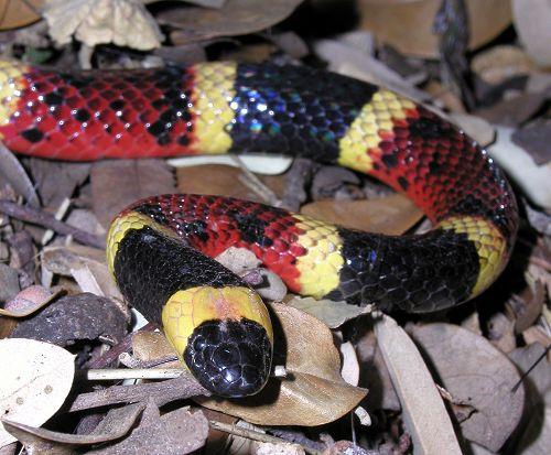 Coral Snake by  Ralph Arvesen