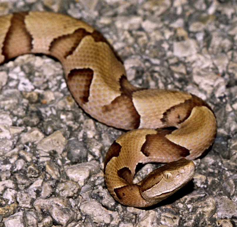 Southern Copperhead By tom spinker