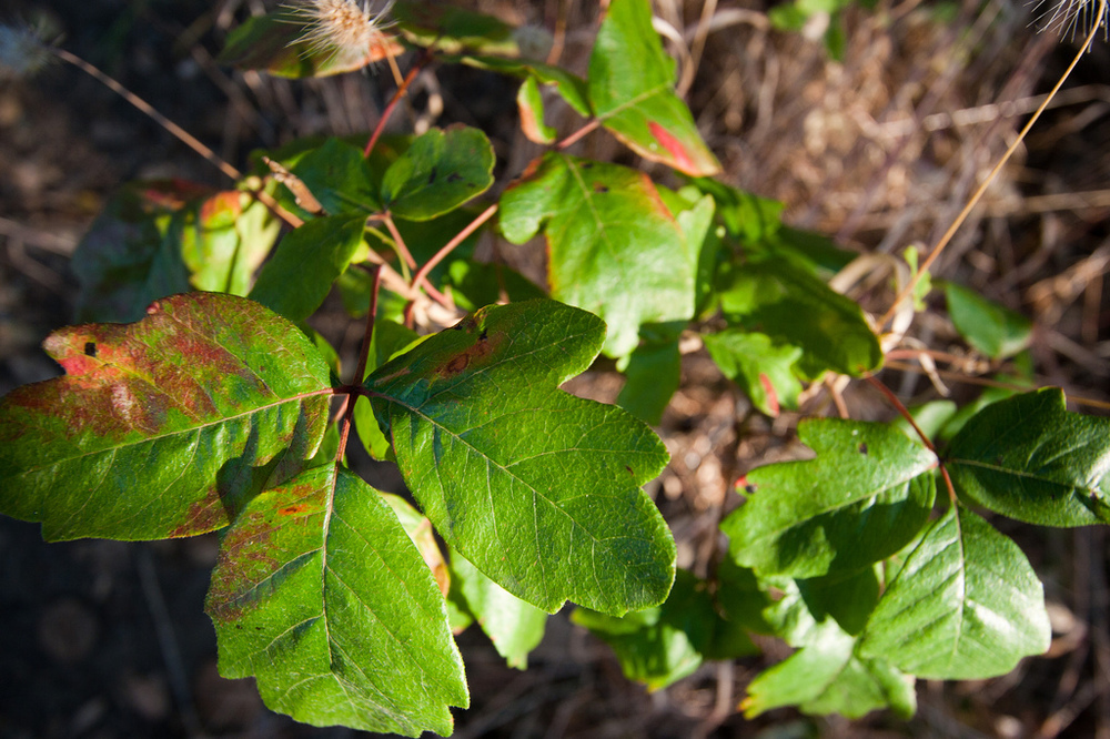 Poison Oak By: Kanaka Menehune
