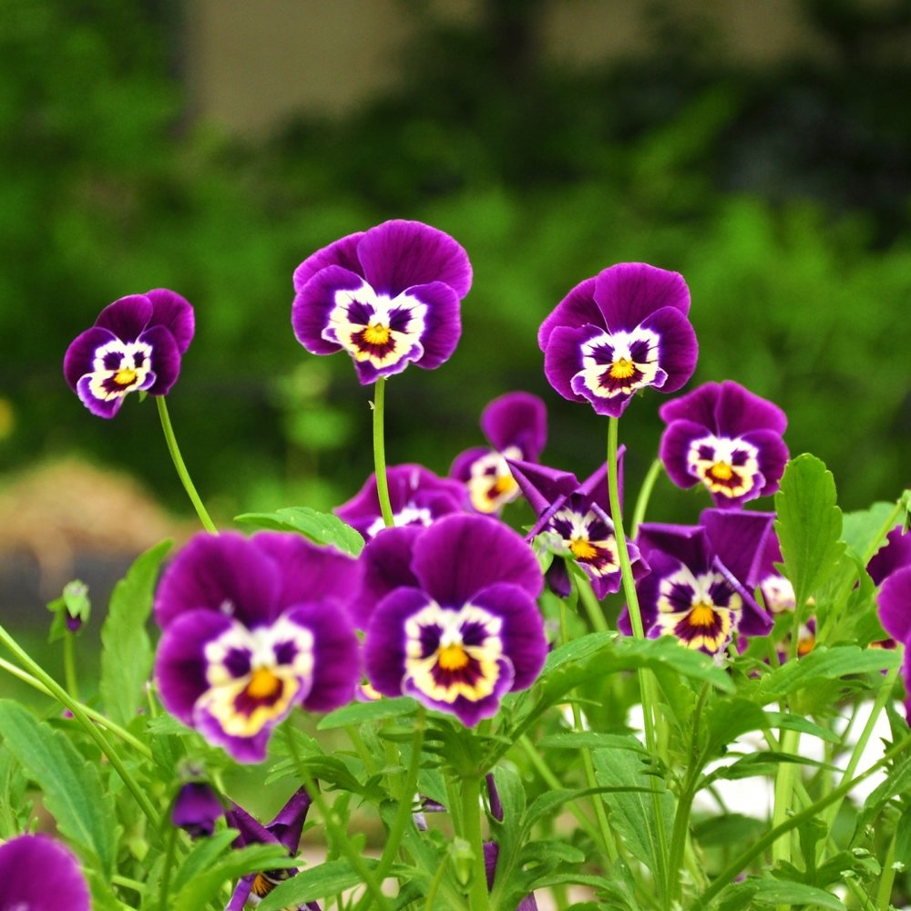 pansies_flowers_faces_grass_smiling_24052_1024x1024.jpg