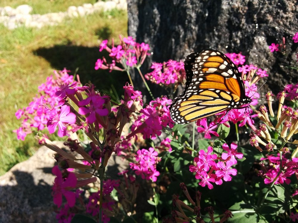 monarch-968854_1920.jpg