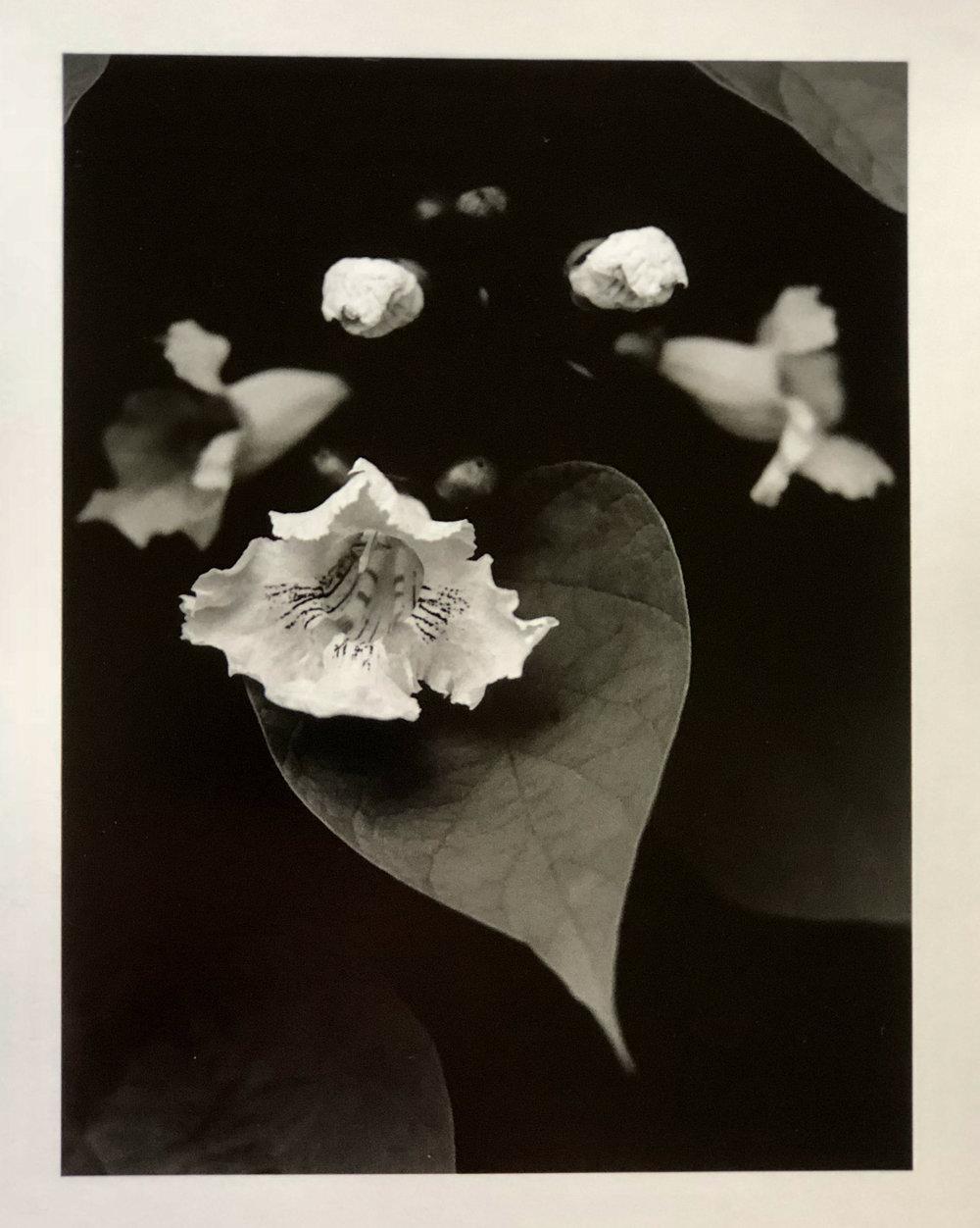 Catalpa Blossom