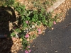 This lantana has continued to grow and bloom the last 40 years.