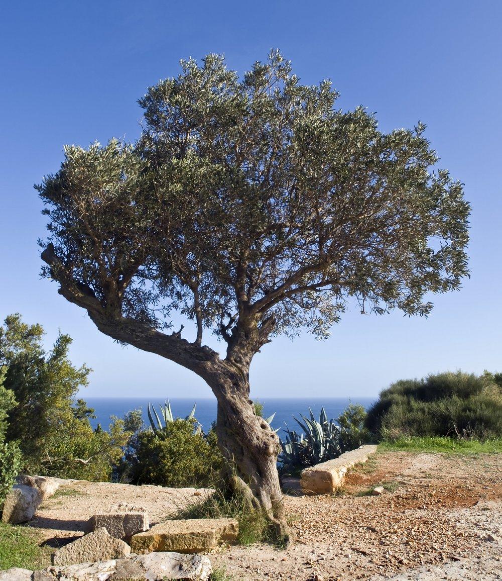 shutterstock_64683283 Olive Tree.jpg