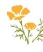 yellow poppys 1.png