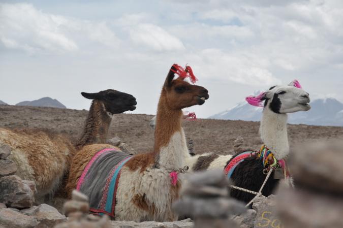 I am a llama. F yeah, llamas