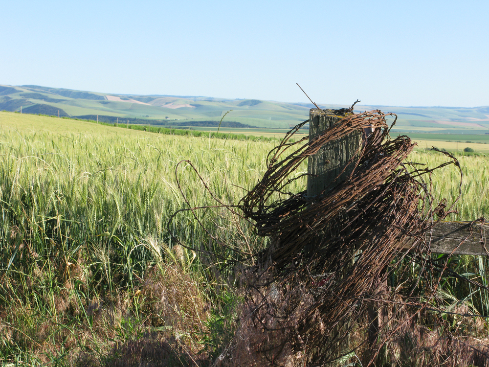 Barbed wire roll and wheat field