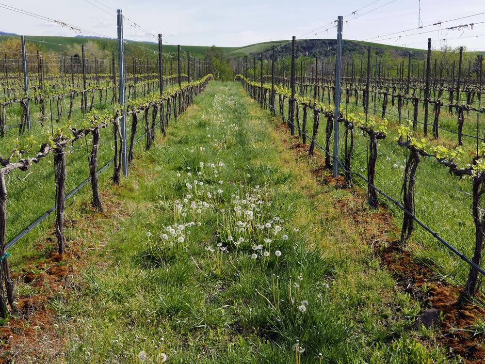 vinyardRowGrass.jpg