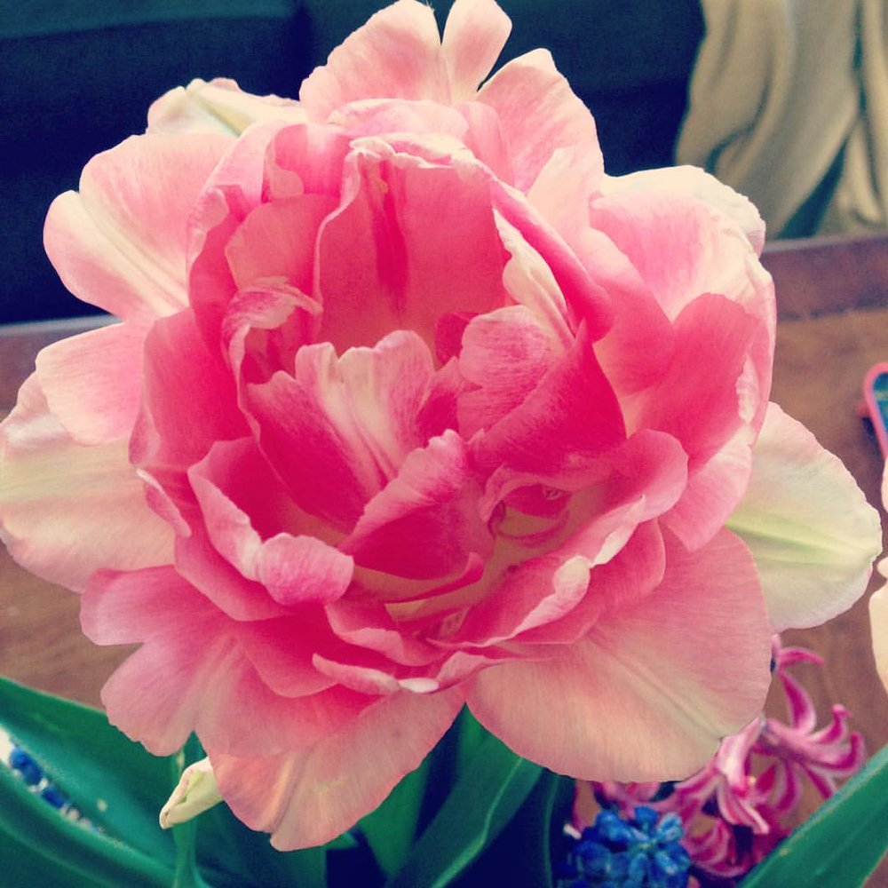 tulip2016.jpg