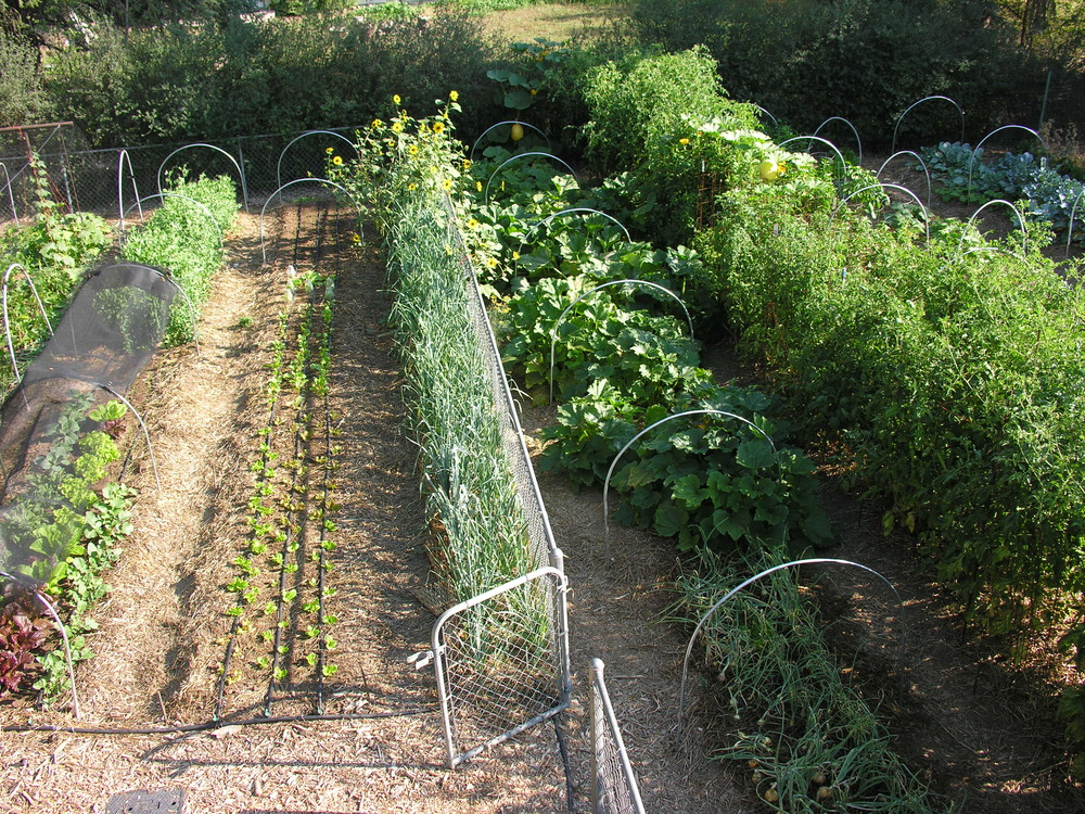 backyard veggies