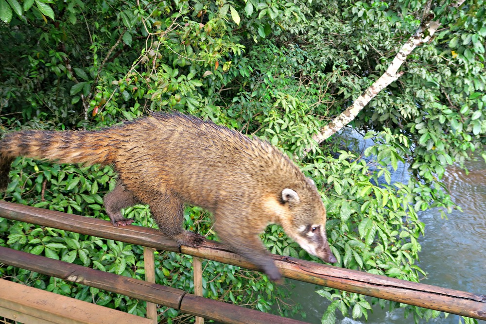 Coatis at Iguazu Falls, Argentina - Tip Top Planning