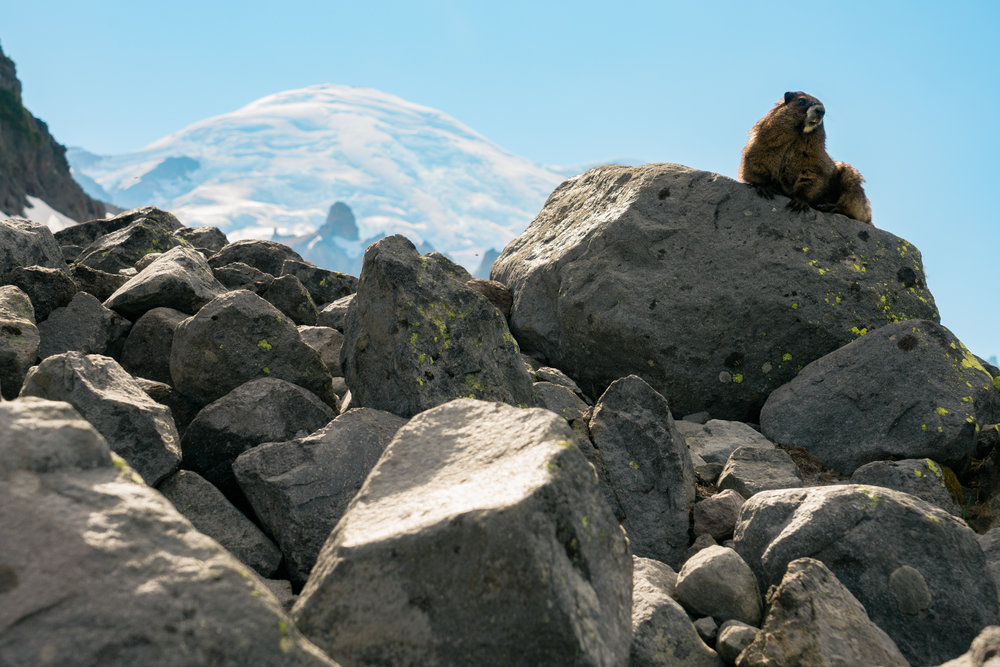 Marmot at Mt. Rainier