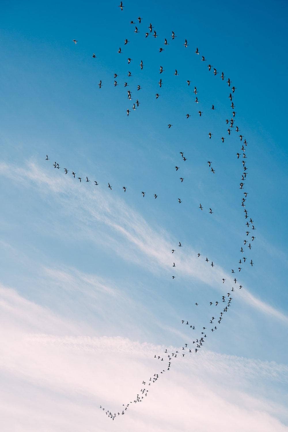 Skagit Delta Goose Chase web-03317.jpg
