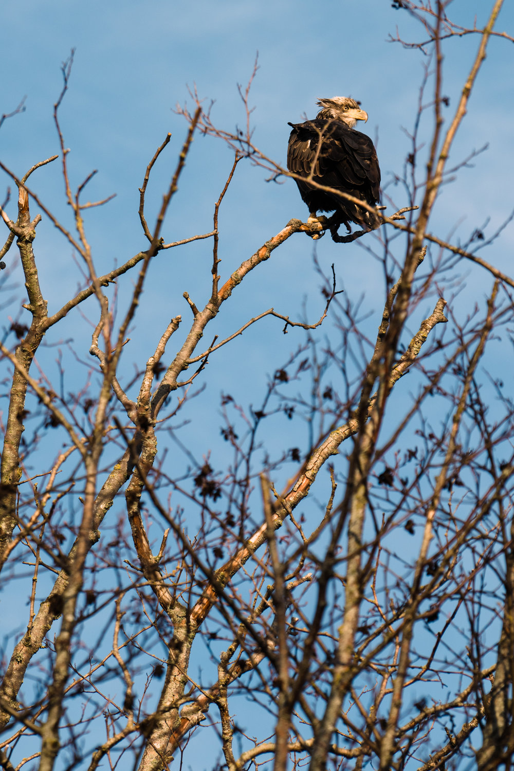 Skagit Delta Goose Chase web-03358.jpg