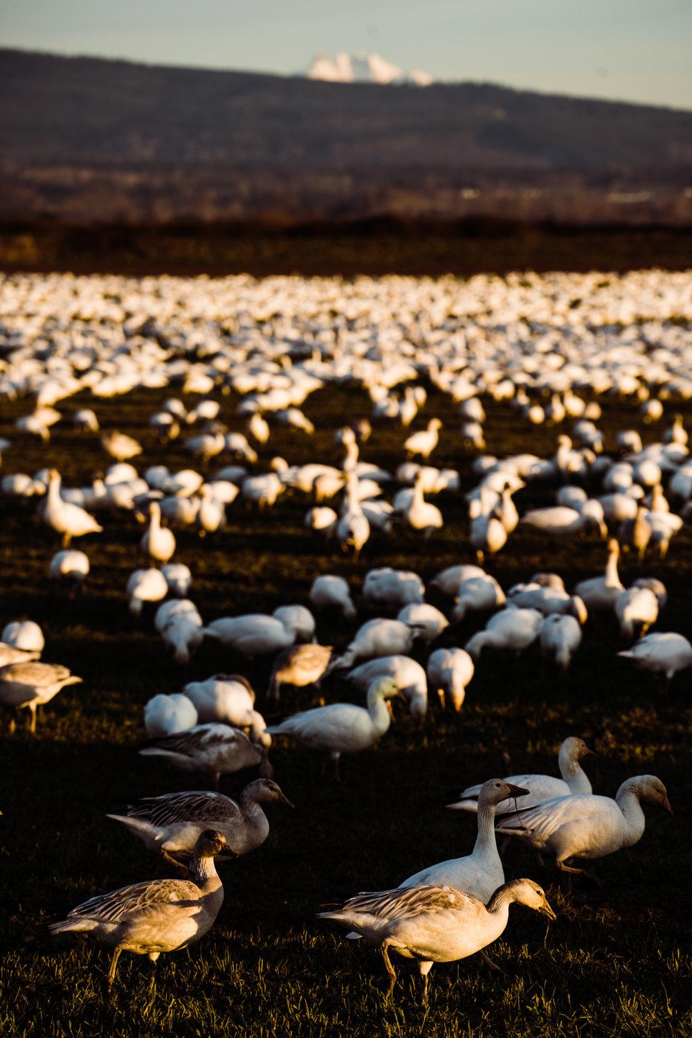 Skagit Delta Goose Chase web-03391.jpg