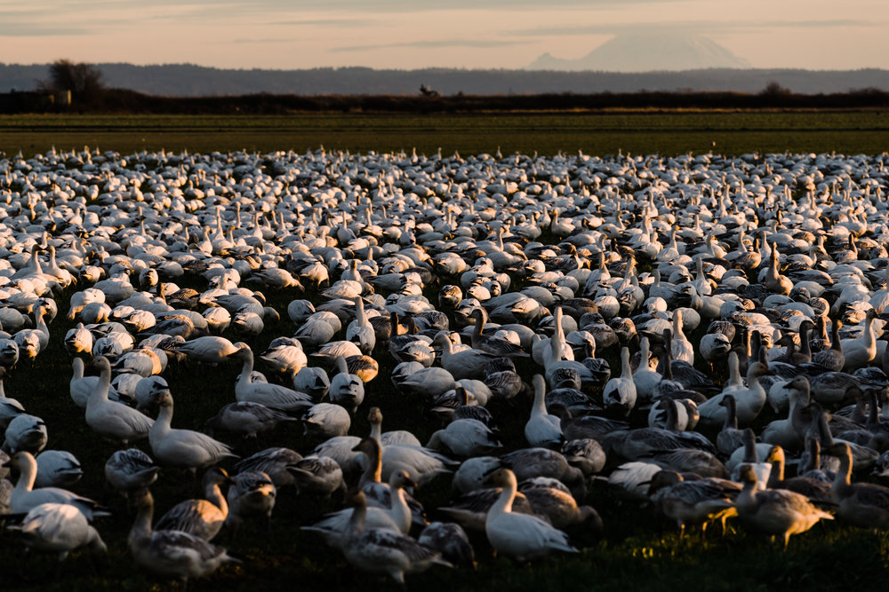 Skagit Delta Goose Chase web-03395.jpg