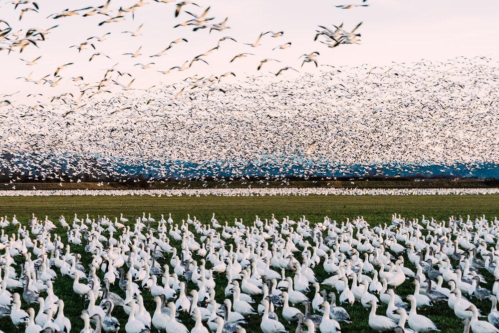 Skagit Delta Goose Chase web-03408.jpg