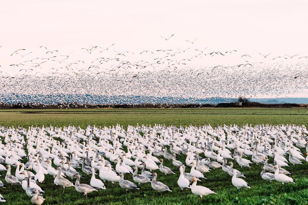 Skagit Delta Goose Chase web-03415.jpg