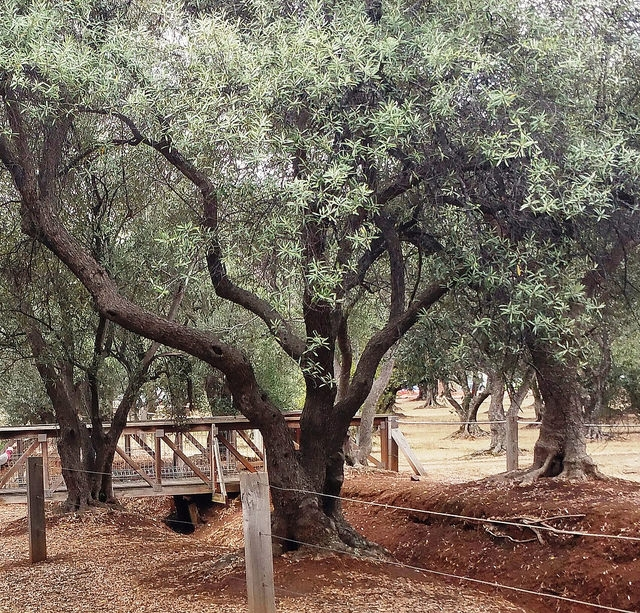 The Olive Groves (Parks 7 & 8) photo album